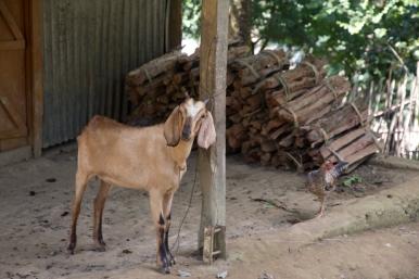 Hatibandha Village Goat